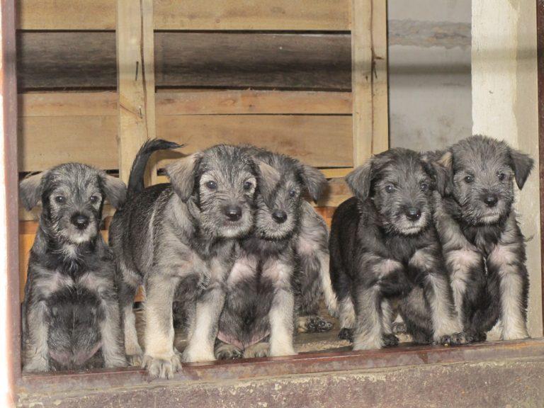 Kennel Von Tut Gut A litter puppies
